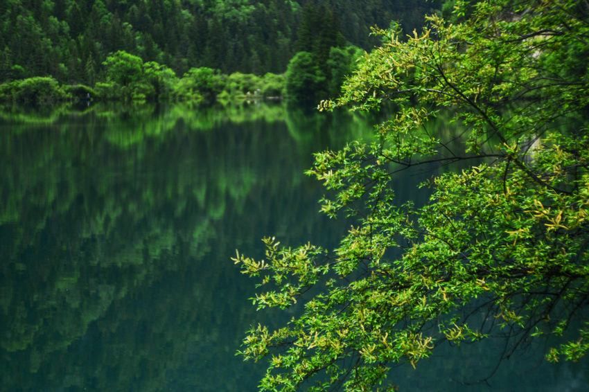 Jiuzhaigou China Beauty In Nature Day Forest Freshness Green Color Growth Lake Landscape Leaf Lush - Description Nature No People Outdoors Reflection Scenics Tranquility Tree Water