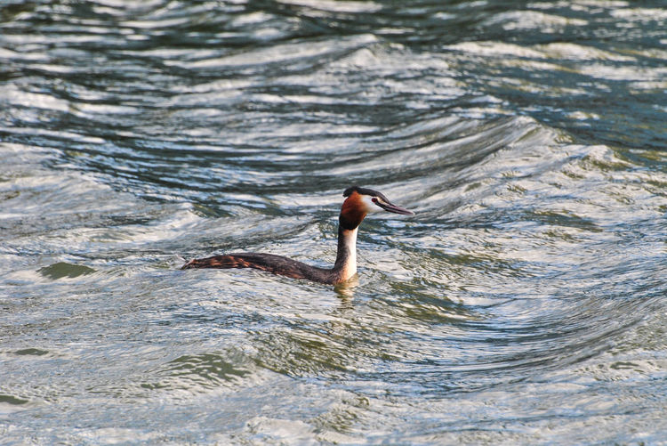 High angle view of grebe swimming in river