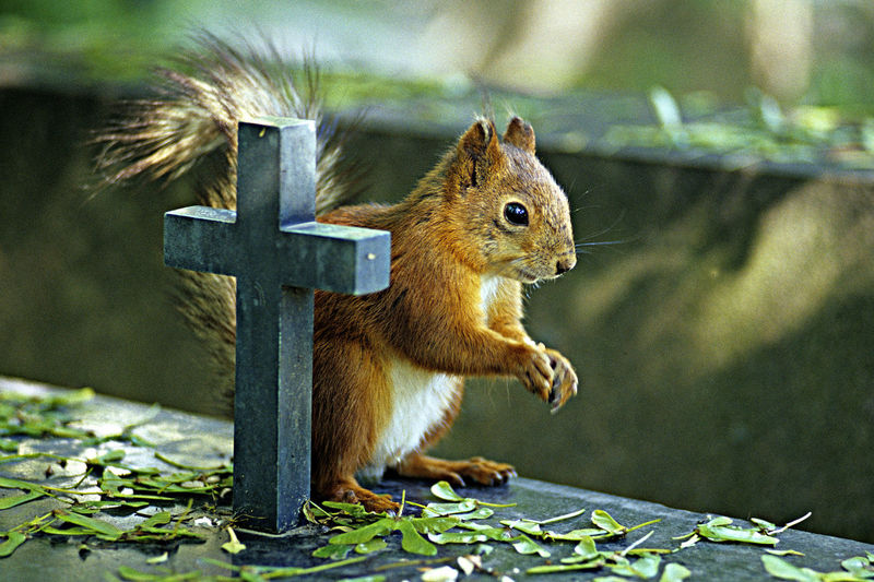 A Pray A Squirrel And A Cross Animal Themes Cemetary Close-up Death Iternal Life? Praying Squirrel Squirrel