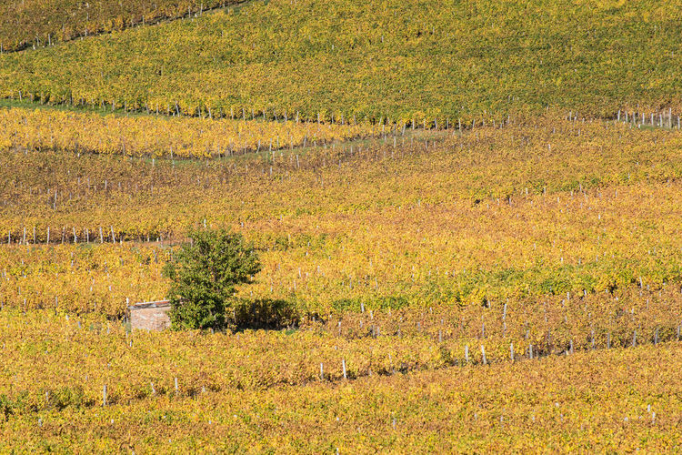 Bourgogne Bourgogne-Franche-Comte Burgundy Autumn Vineyard In A Row Plant Growth Field Yellow Agriculture Field Farm Rural Scene Nature Outdoors No People Tree Day Scenics Beauty In Nature Grass
