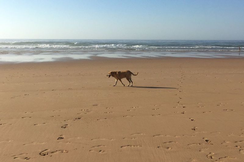 Beach Sea Dog Animal Themes Domestic Animals Mammal Pets One Animal Nature Sand Water Horizon Over Water Scenics Beauty In Nature Outdoors Day No People Sky Monte Clerigo Costa Vicentina Atlantic Ocean Beach Life Life Is A Beach