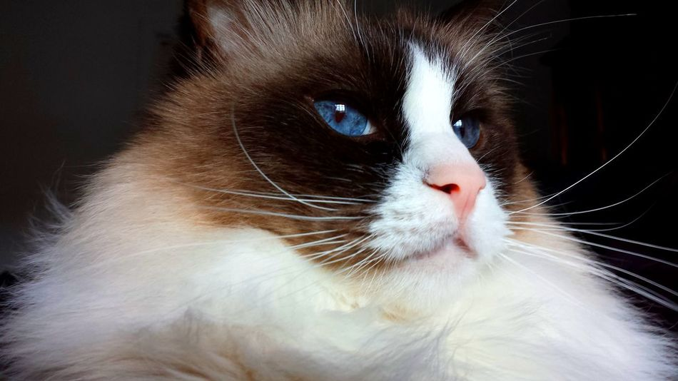 Cats Of EyeEm Blue Eyed Animal Head  Animal Themes Best Of EyeEm Blue Eyes Cat Art Cat Eyes CAT IN THE SUN Cat Model Close Up Color Contrast Contentment Domestic Cat Longhaired Cats One Animal Pets Purr-sonality Ragdoll Cat Seal Mitted Whiskers EyeEm Gallery Cat Photography