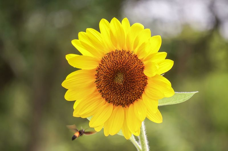 Seeds Sunflower Flower Flowering Plant Fragility Flower Head Yellow Growth Freshness Plant Insect Close-up Pollen