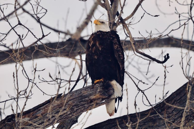 Perched Bald Eagle Bald Eagle EyeEm Selects Tree Branch One Animal Animal Vertebrate Animal Themes Animals In The Wild Perching Animal Wildlife Bare Tree No People Day Plant Nature Bird Cold Temperature Low Angle View Focus On Foreground Outdoors