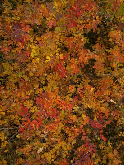 There's no any colour enhancing or any filter. Autumn Leafage Leaves Automne Feuilles Feuillage осень листва листья Siberia