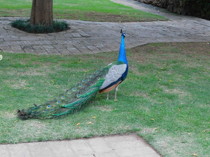 Peacock Animal