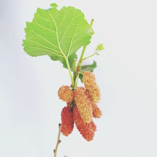 Selective Focus Young Mulberry Friut Isolated On White Background. Isolated White Food Mulberry Mulberries Red Green White Background Leaf Agriculture Branch Close-up Green Color Plant Food And Drink