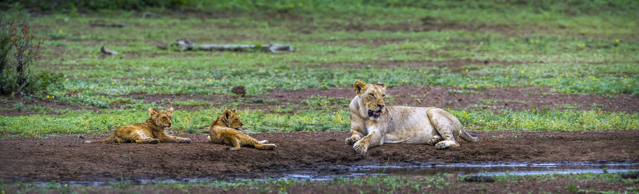 Lioness sitting with cubs on land