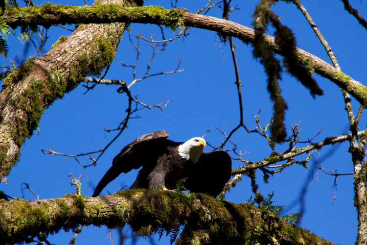 Tree Plant Animal Branch Animal Wildlife Animal Themes Animals In The Wild Bird Sky No People Perching Day One Animal Bald Eagle Clear Sky Blue Outdoors Eagle Nature