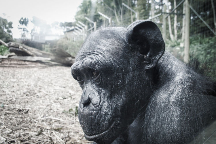 Side view of chimpanzee in forest