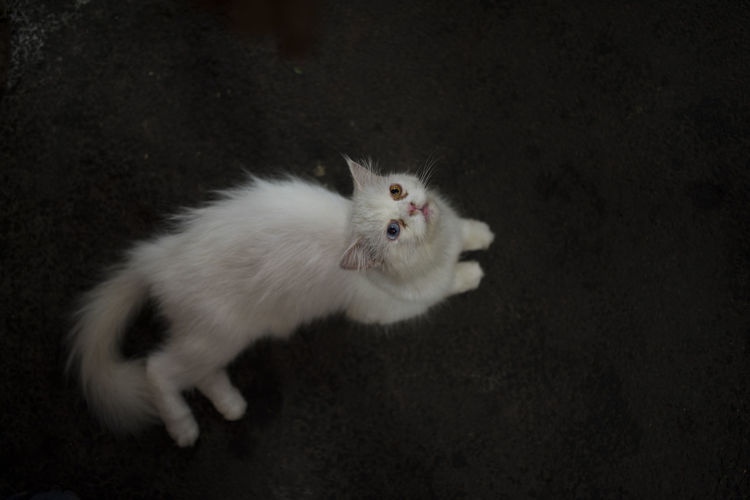 High angle portrait of white cat