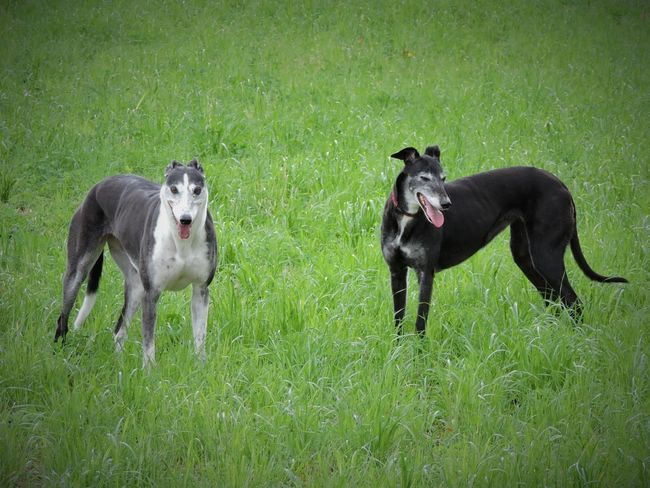 Animal Themes Black Color Day Dog❤ Domestic Animals Field Grass Grassy Green Color Greyhound Greyhounds Landscape Mammal Nature No People Outdoors Pets Portrait Selective Focus
