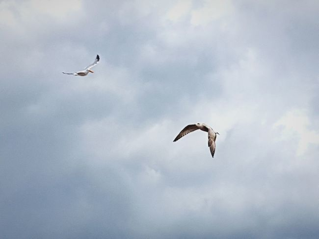 Flying Bird Animal Themes On The Move Animals In The Wild Animal Wildlife Spread Wings Cloud - Sky Low Angle View Beauty In Nature No People One Animal Animal Day Outdoors Motion Animal Behavior Sky Nature