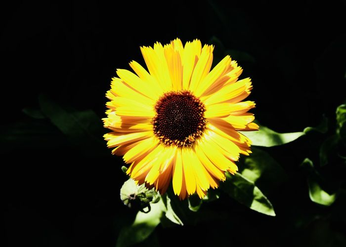 the sun as flower Bright Copy Space Vivid Backgrounds Beauty In Nature Black Background Close-up Flora Flower Flower Head Flowering Plant Focus On Foreground Fragility Freshness Growth Inflorescence Nature Outdoors Petal Plant Pollen Sun Sunflower Vulnerability  Yellow