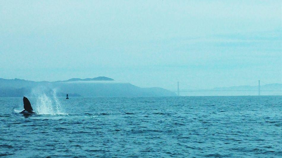 Humpback Whale San Francisco California Pacific Ocean Whale Watching