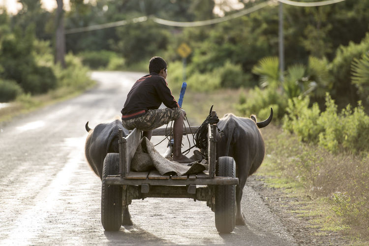 Man sitting on buffalo cart