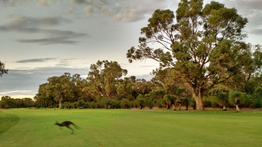 A lone kangaroo bounds across a wide lawn with backdrop of bushland at sunset. Kangaroo Landscape Motion Greenery Tranquil Scene Sunset Light