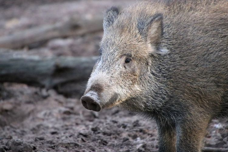 Close-up of a wild boar looking away