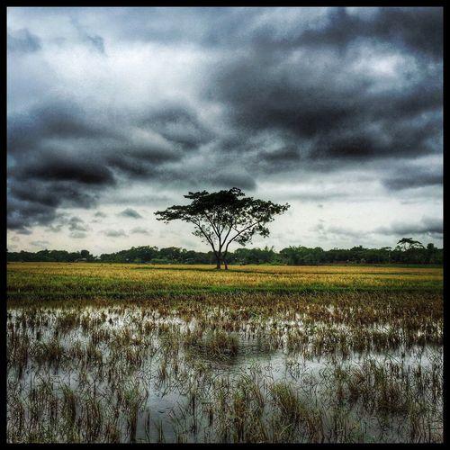Landscape of Bangladesh. Sujanmap Landscape Landscape_photography Iphoneonly #instagramrussia #igmasters #instagramersgallery #huntgram #natgeoru #natgeo #photooftheday #artventurers #iguides_photo #instagood #irkutsk #russia #siberian #instadaily #instaframe #instatime #иркутск #россия #russianpics #beauty #Baikal #ins Bangladeshiphotographer Sky Tree