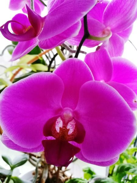 Winter in London 2017, my plants.Flower Fragility Beauty In Nature Nature Petal Pink Color Freshness Flower Head No People Purple Plant Close-up Orchid Growth Day Outdoors My Home Garden Orchid Orchid Blossoms Orchid Flower Orchids In Bloom HuaweiP9Photography Huwaeileica Millennial Pink