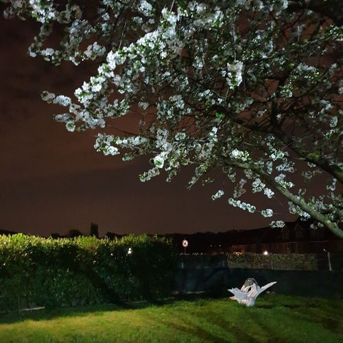 View of white flowering tree in park