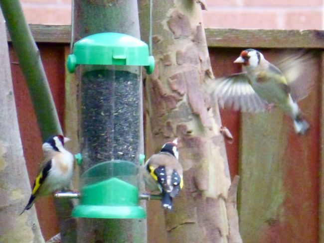 Goldfinches fighting for the bird feeder. Bird Animal Themes Bird Feeder Animals In The Wild No People Animal Wildlife Day One Animal Motion Perching Outdoors Close-up Nature Mammal