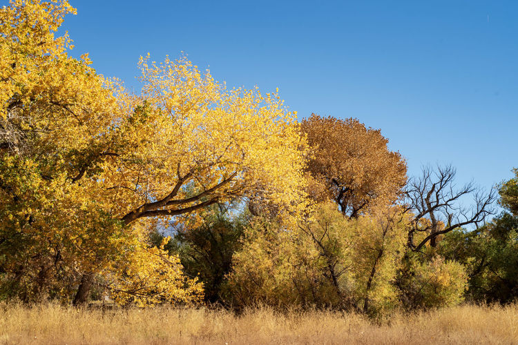 autumn landscape in field of brown grasses with trees with yellow leaves Autumn Tree Plant Beauty In Nature Yellow Change Nature Tranquility Sky Scenics - Nature Day Landscape Tranquil Scene Land No People Environment Growth Plant Part Leaf Clear Sky Outdoors Autumn Collection Semi-arid Seasons Fall Colors