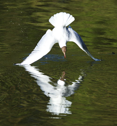Animal Themes Animal Wildlife Animals In The Wild Bird Day Flying Great Egret Lake Nature No People One Animal Outdoors Spread Wings Swan Water Waterfront White Color