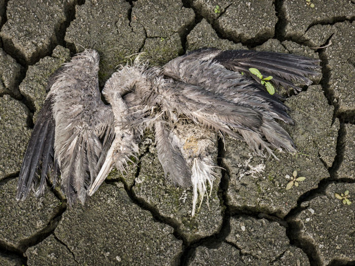 dried up lake with dead bird gray heron Animal Animal Themes Animal Wildlife Animals In The Wild Nature No People High Angle View Day Close-up Vertebrate Outdoors Drought Climate Change Global Warming Dry Parched Arid Scorched Gray Heron Dead Animal Dehydrated