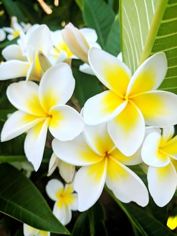 Summer Garden Photography Garden EyeEm Flower Flower Petal Flower Head Freshness Beauty In Nature Plant Fragility Nature Close-up Frangipani Outdoors No People Yellow Day Growth
