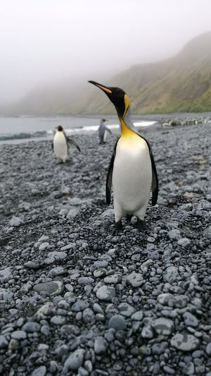 King Penguin Sub Antarctics Uncommon  Macquarie Island Wildlife King Penguin Penguin Animal Wildlife Animals In The Wild No People Bird Beach Nature Animal Themes