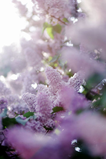 Backgrounds Beauty In Nature Day Flower Freshness Full Frame Growth Lila Lilac Nature Outdoors Pink Color Plant Purity Purple Soft Focus Spring