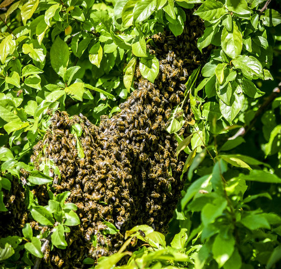 Bees swarming whilst moving their queen to a new was an amazing sight, we had it happen 3 times within the space of a few months. I love bees ❤️ Bees EyeEmNewHere Animal Animal Themes Animal Wildlife Animals In The Wild Beauty In Nature Bee Bee Swarm Bees Photography Beesofeyeem Close-up Day Green Color Growth Insect Invertebrate Leaf Life Cycle Nature No People Outdoors Plant Plant Part Swarm