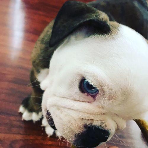 Pets One Animal Close-up Dog Indoors  Inglishbulldog Blue Eyes