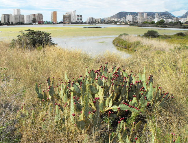 Opuntia Cactus and a lake in Calpe, Spain Architecture Beauty In Nature Built Structure Cactus Calp Calpe Alicante España City Day Fruit Growth Human Planet Lago Lake Nature Nature Reserve No People Opuntia Outdoors Prickly Pear Red Reeds Travel Destinations Vista Water Yellow