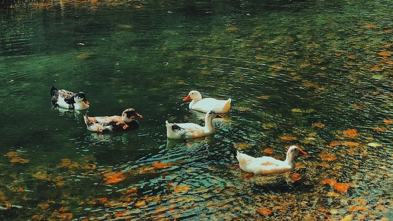 Water Nature Beauty Photography Green Ducks At The Lake Ducks Olympos