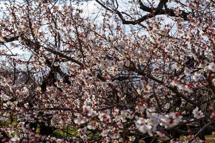 Flower Flowering Plant Tree Springtime Blossom Plant Branch Growth Fragility Freshness Cherry Blossom Beauty In Nature Vulnerability  Nature Low Angle View Day Cherry Tree No People Botany Fruit Tree Outdoors Pink Color Spring Flower Head 曽我梅林