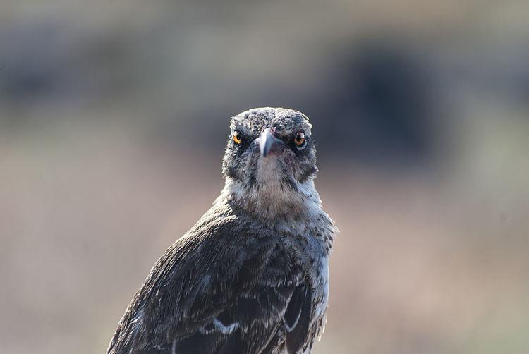 Portrait of galapagos mockingbird