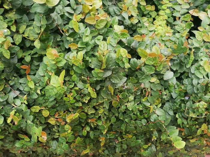 Full frame shot of ivy growing on field