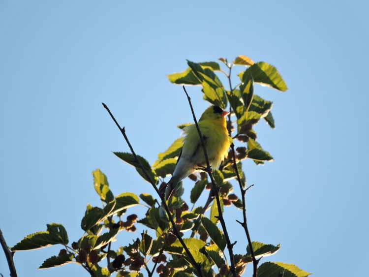 Goldfinch in morning sun Animal Themes Animals In The Wild Beauty In Nature Blue Branch Clear Sky Close-up Day Flower Fragility Freshness Goldfinches Green Color Growth Leaf Low Angle View Nature No People One Animal Outdoors Petal Plant Sky Sunlit Tree