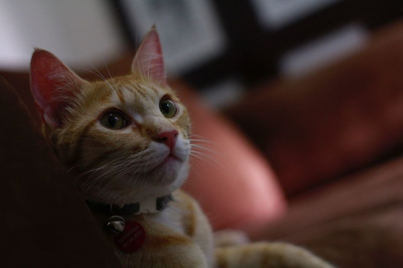 Close-up of kitten at home