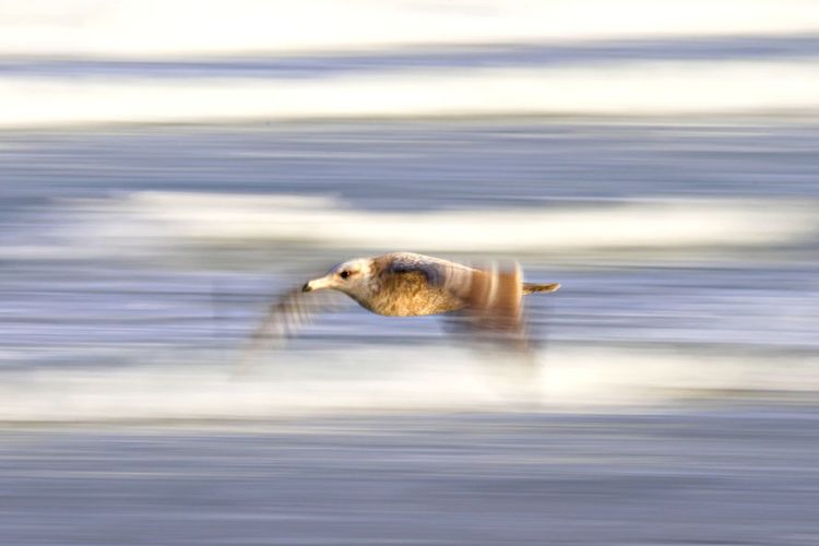 Animal Themes Animal One Animal Animal Wildlife Sea Animals In The Wild Motion Water Bird No People Flying Beauty In Nature Blurred Motion Spread Wings Outdoors Horizon Over Water Seagull