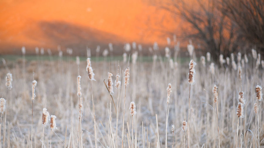 Close-up of dry plants on field during sunset