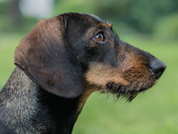 Dackel Animal Themes Black Color Black Labrador Close-up Dackelblick Day Dog Domestic Animals Focus On Foreground Grass Labrador Retriever Mammal No People One Animal Outdoors Pets Rauhaardackel