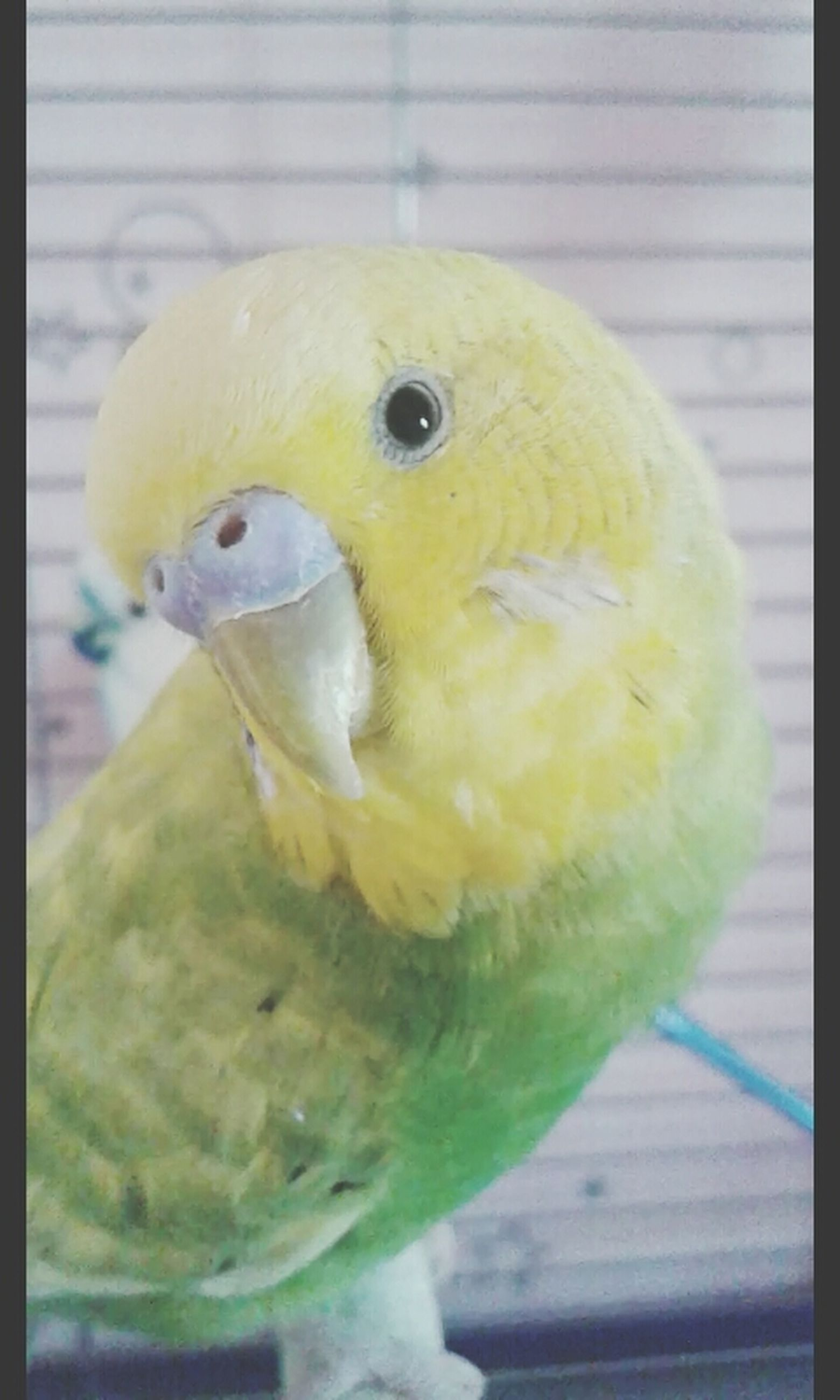animal themes, one animal, bird, close-up, animals in the wild, wildlife, beak, parrot, focus on foreground, yellow, animal head, indoors, transfer print, auto post production filter, perching, animals in captivity, animal body part, no people, day, cage