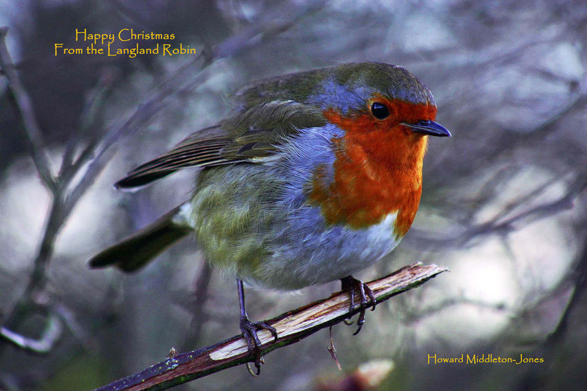 The Langland Bay Robin Feathers Happy Christmas Langland Bay Winter Bird Close-up Nature No People One Animal Outdoors Perching Robin Robin Redbreast Shades Of Winter