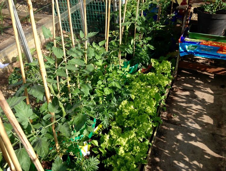 Tomatoes, radishes and cut and come again lettuces in cold greenhouse. Growing Our Own