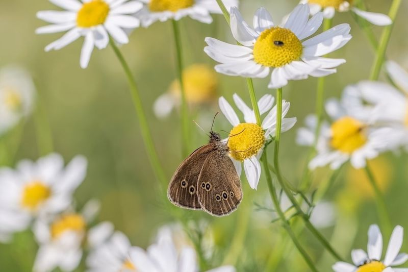 butterfly Butterfly Chamomile Field Chamomile Flower Flowering Plant Animal Wildlife Plant Freshness Beauty In Nature Animals In The Wild Insect Animal Themes Animal Close-up
