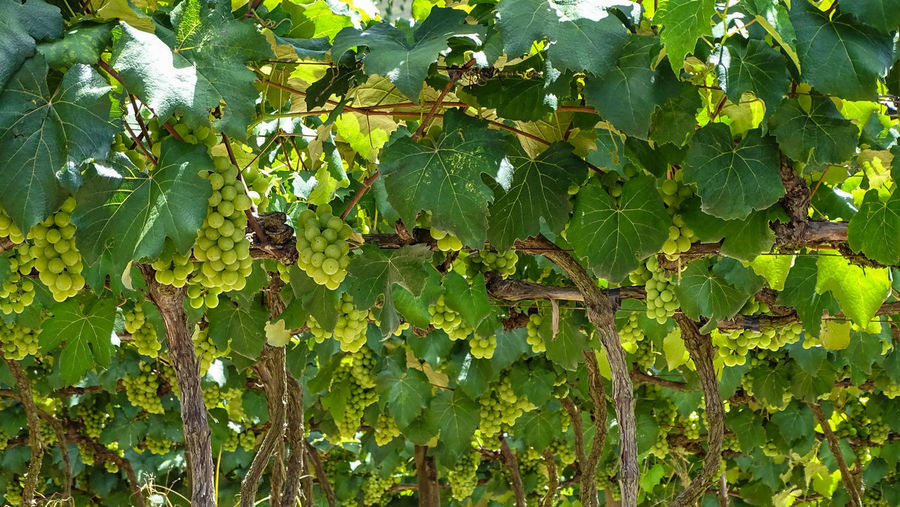 ezefer Growth Green Color Plant Leaf Plant Part Nature Tree Fruit Beauty In Nature No People Food And Drink Day Healthy Eating Food Low Angle View Outdoors Sunlight Animals In The Wild Freshness Animal Wildlife Jundiaí Winery Vineyard Grapes Grape