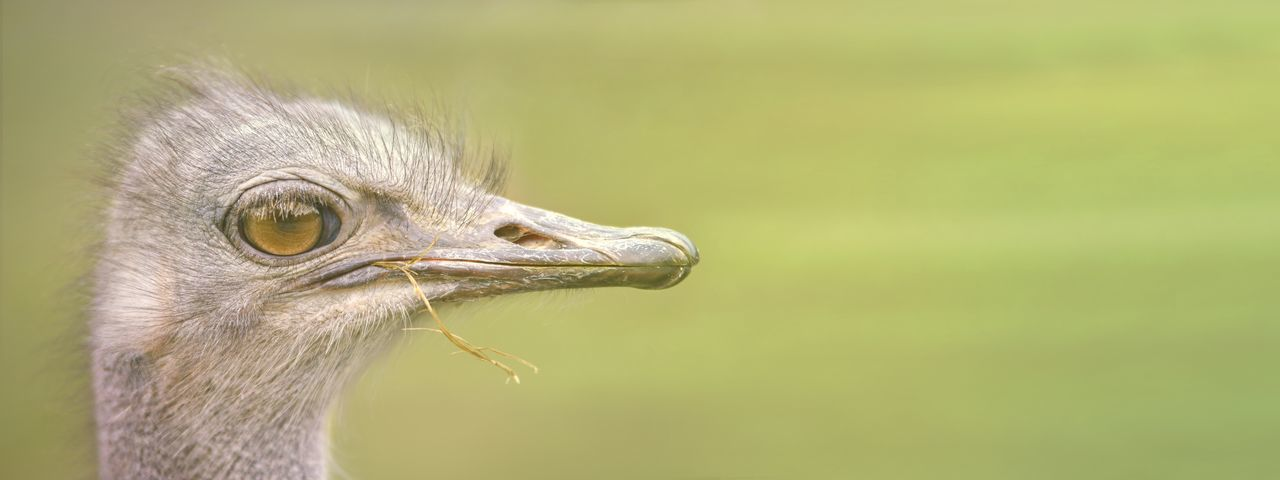 Ostrich head, side view . panoramic image with copy space.